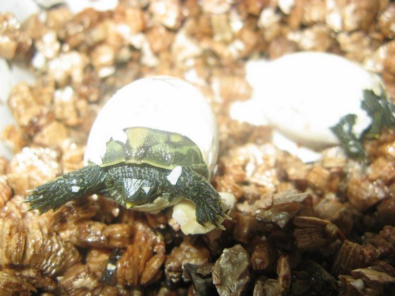 Nascita di mauremys ocadia sinensis tartaclubitalia for Letargo tartarughe acquatiche