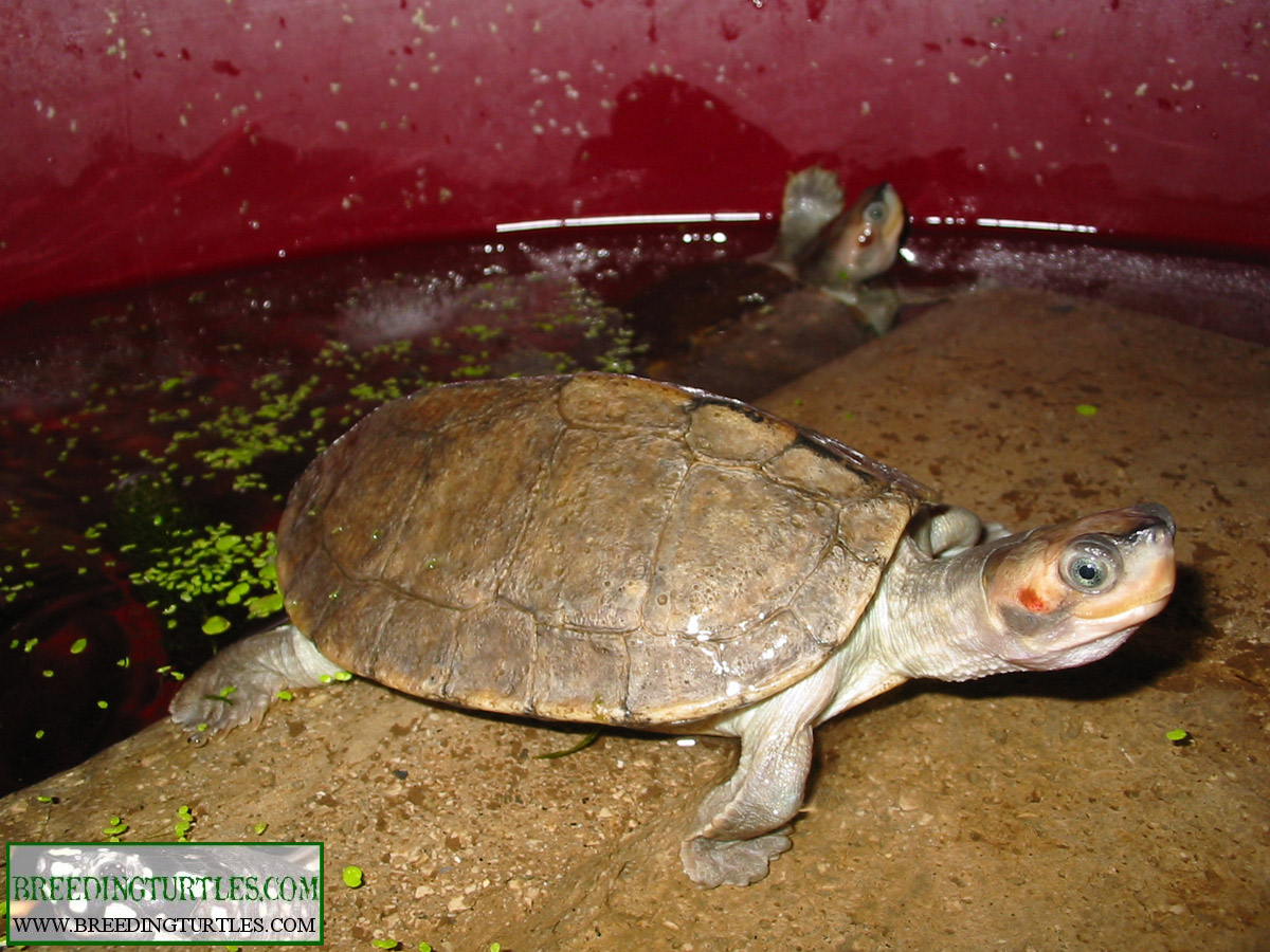 Breeding Turtles Pangshura Smithii Smithii